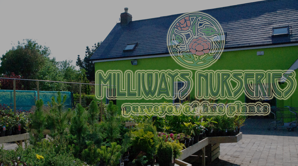 Rosslare garden center  centre Milliways garden bargains Rosslare strand plants coastal shrubs trees, seeds, bulbs, pottery Irish wexford cafe japanese food irish grown plants hanging baskets house plants bulbs trees seaside surf shop giftsware gifts